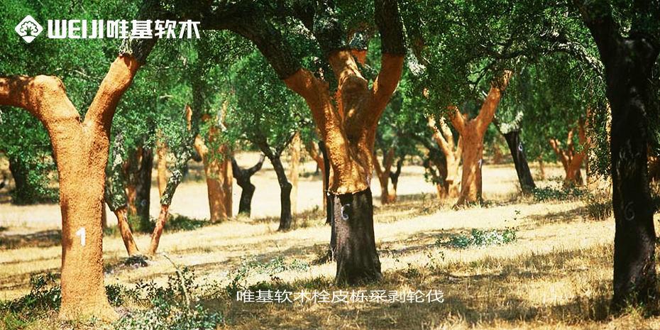 软木栓皮栎