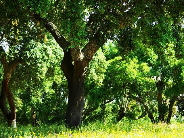 软木栓皮栎树有什么用途